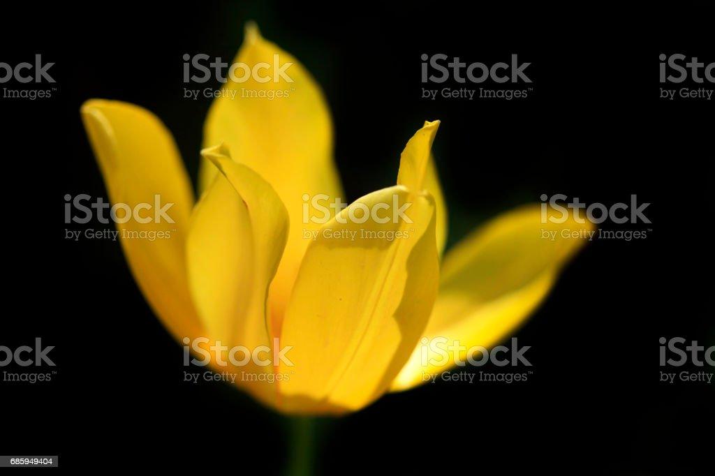 yellow tulip on black backgroud stock photo