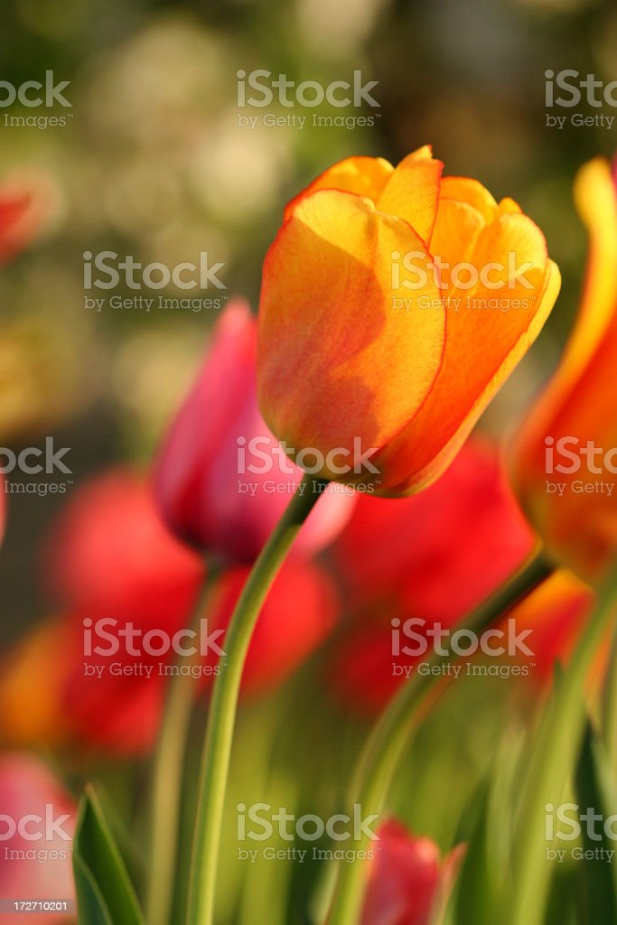 Yellow tulip outside in the wind royalty-free stock photo