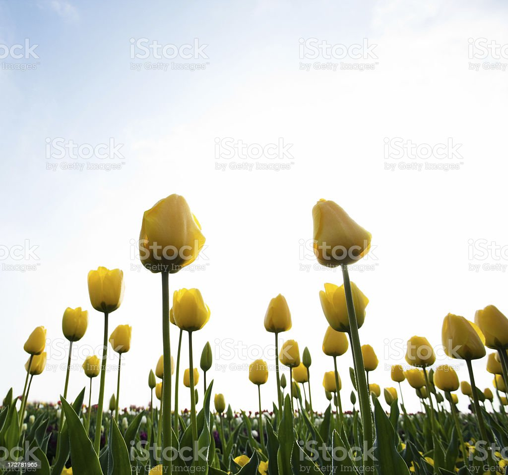 Yellow Tulip royalty-free stock photo