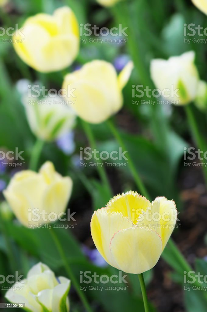yellow tulip royalty-free stock photo