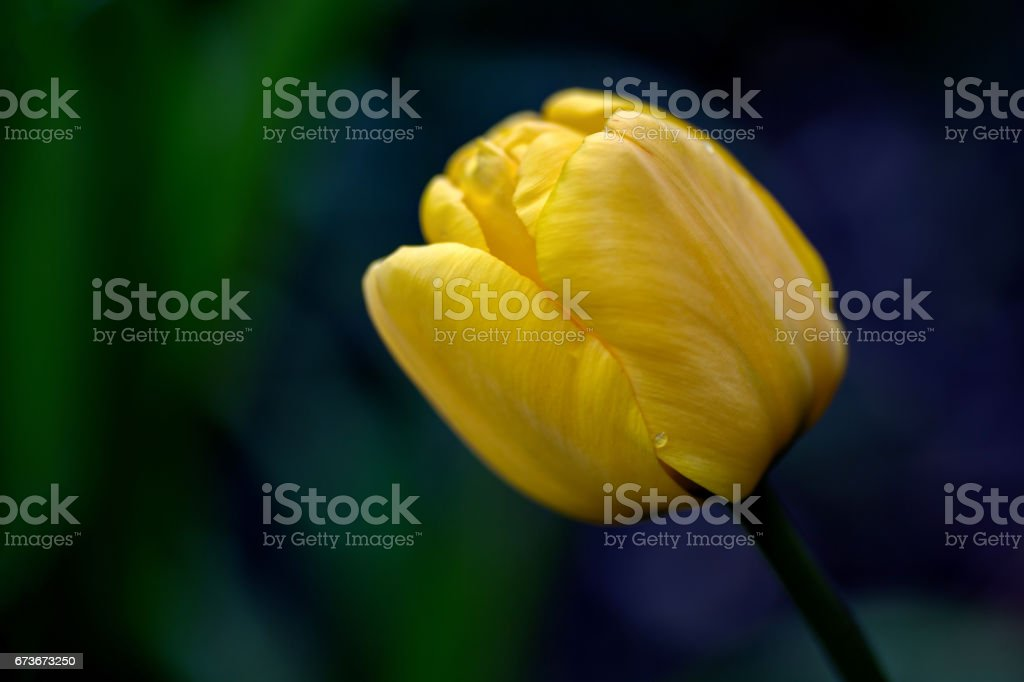 yellow tulip. shallow depth of field stock photo