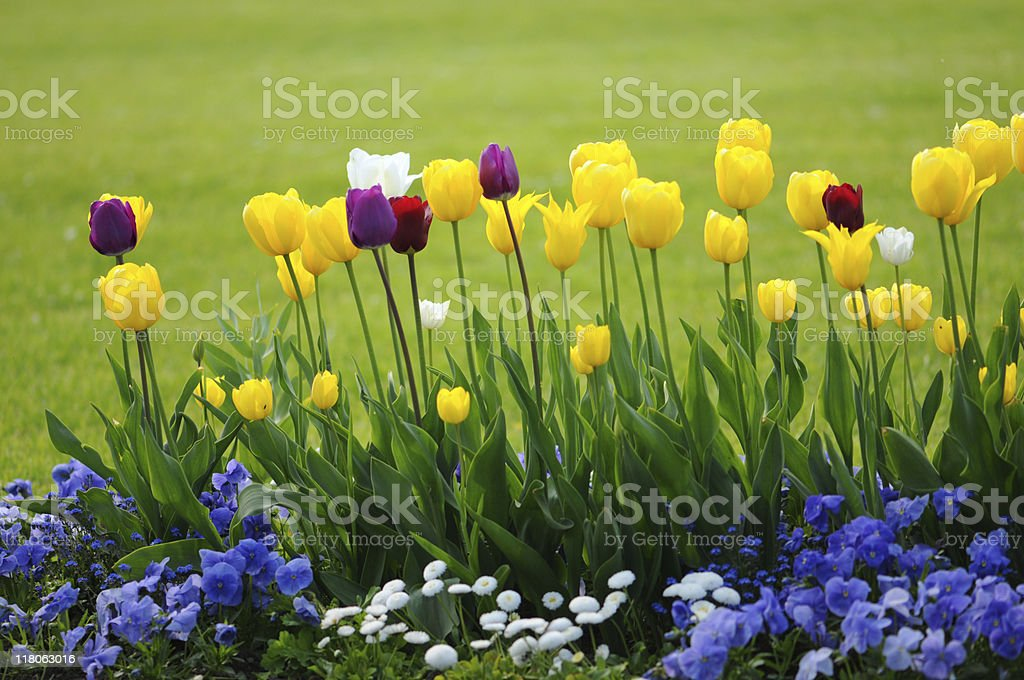 yellow tulips and blue pansy royalty-free stock photo