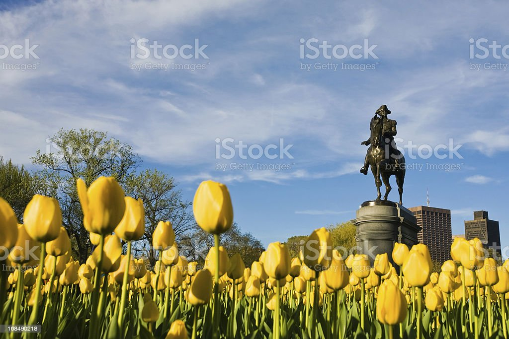 Yellow Tulips and George Washington stock photo