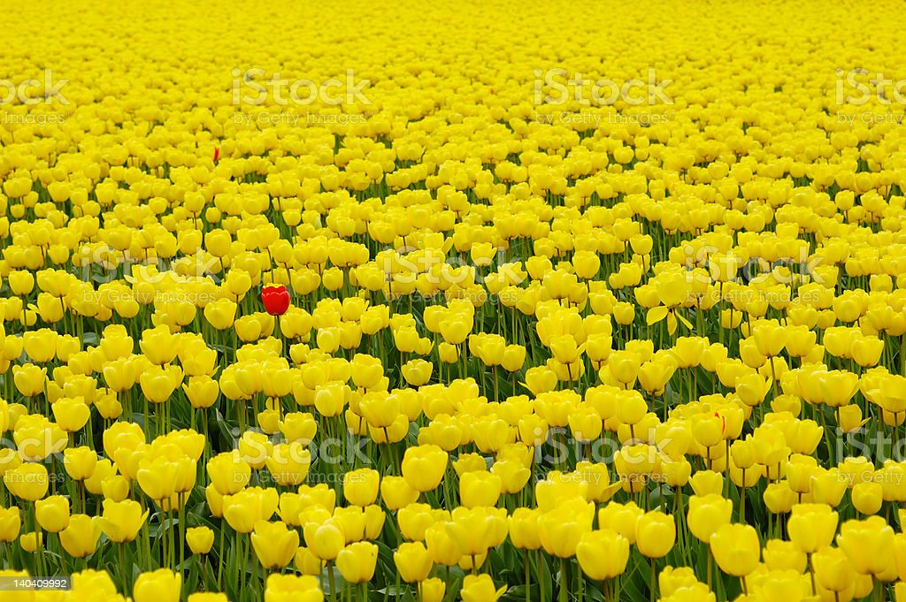Yellow tulips, and one red royalty-free stock photo