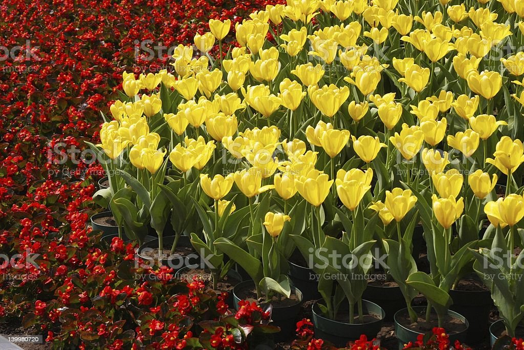 Yellow Tulips and Red Flowers royalty-free stock photo