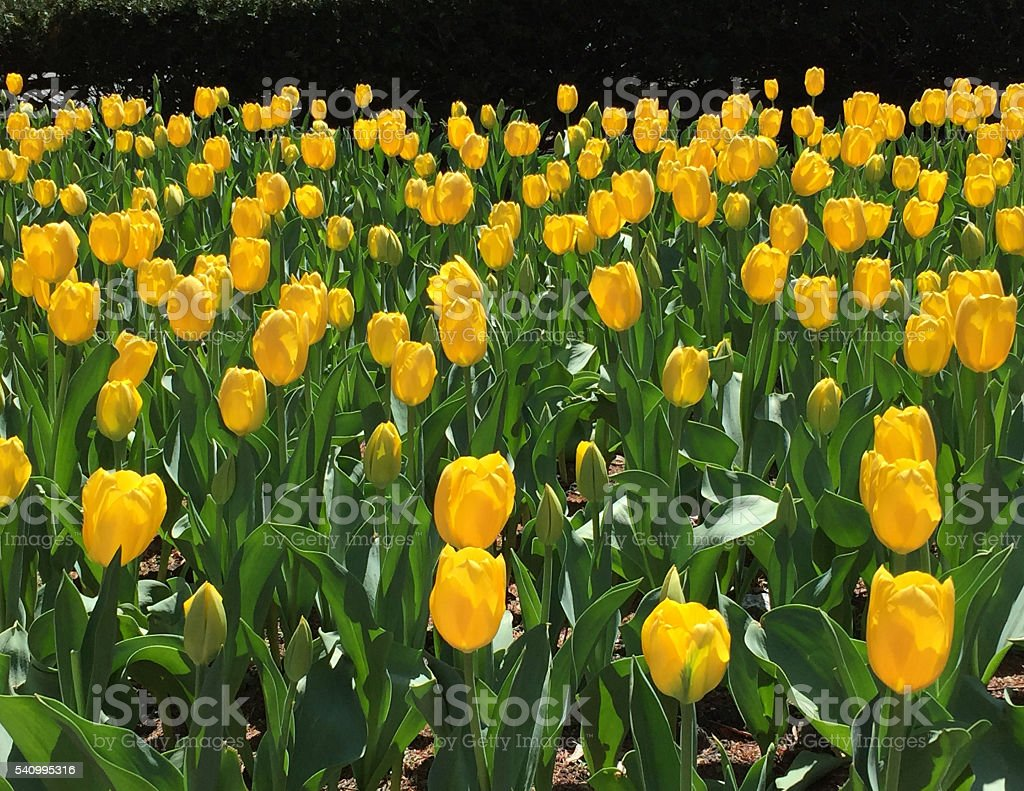 Yellow tulips at Park Avenue, NYC stock photo