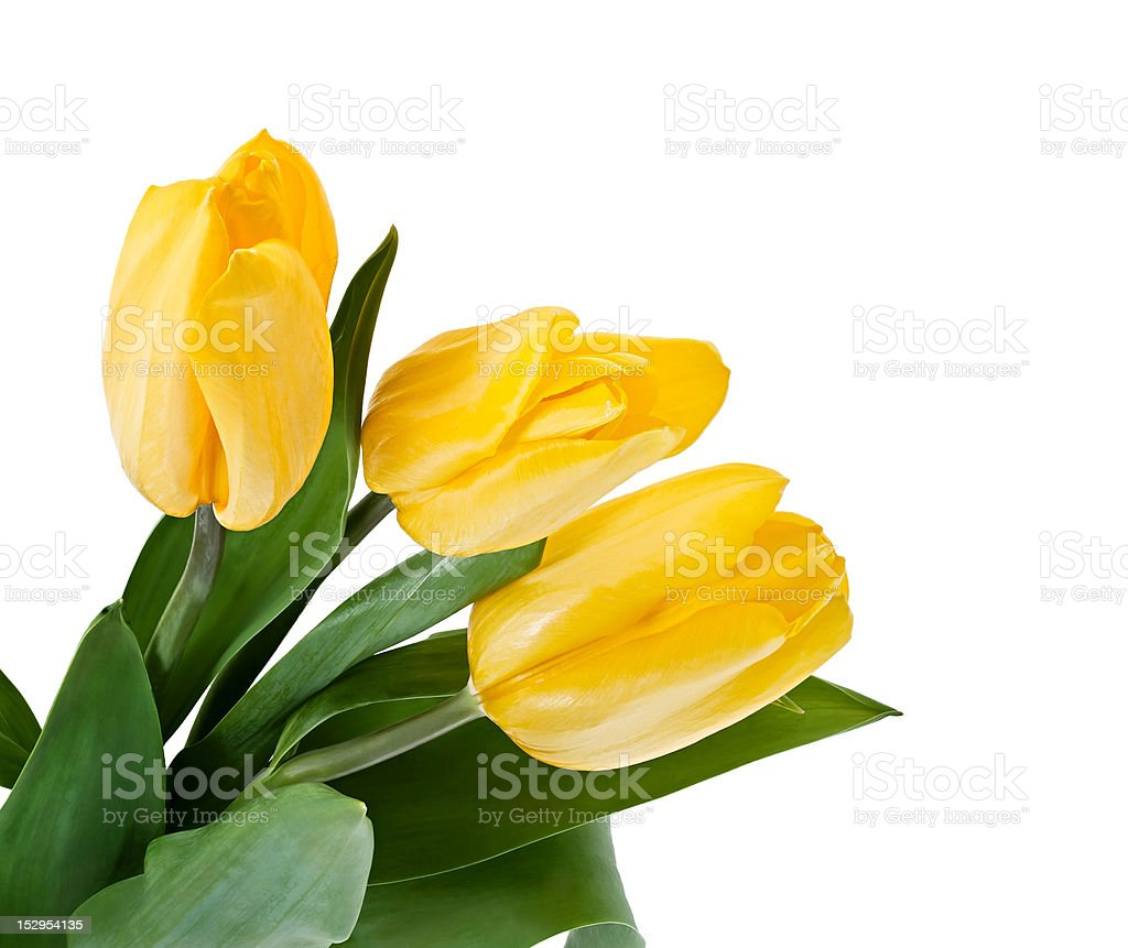 Yellow Tulips Bouquet royalty-free stock photo