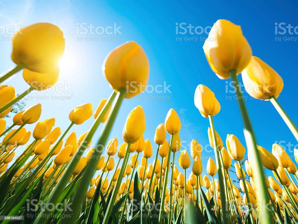 Yellow Tulips From Below stock photo