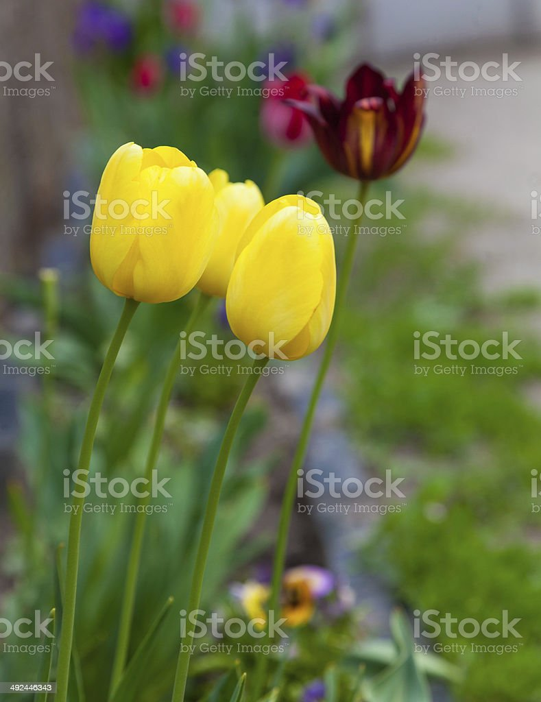 yellow tulips growing in the flowerbed royalty-free stock photo