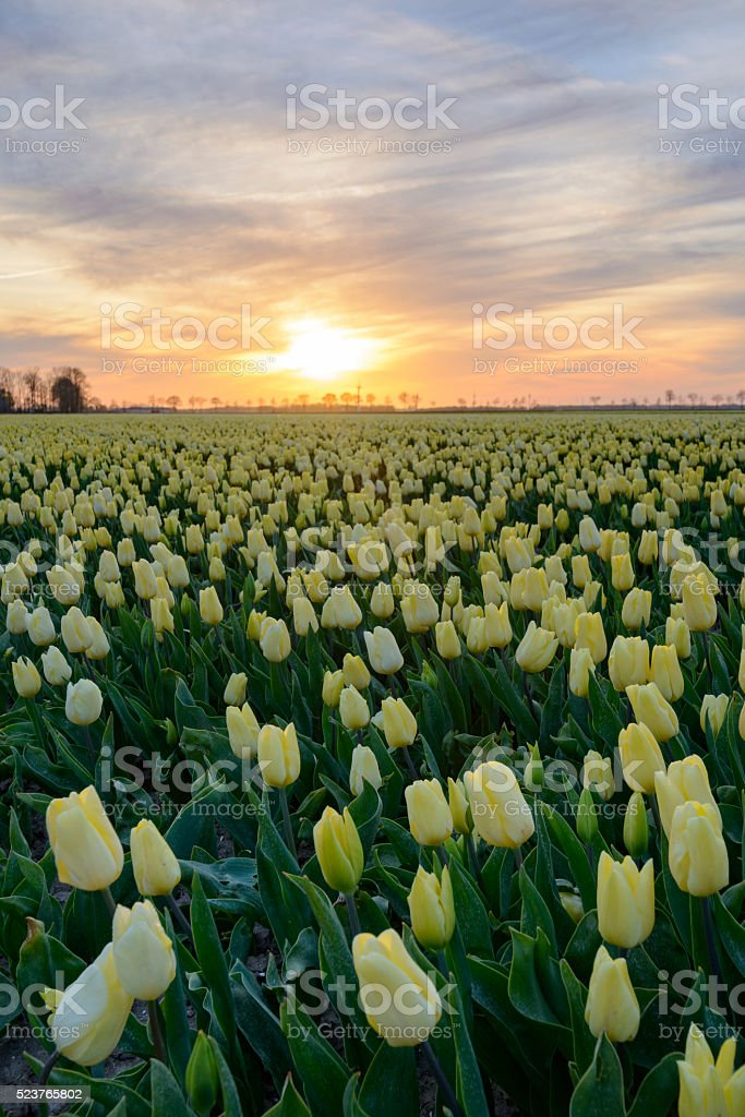 Yellow Tulips in a field during a lovely spring sunset stock photo
