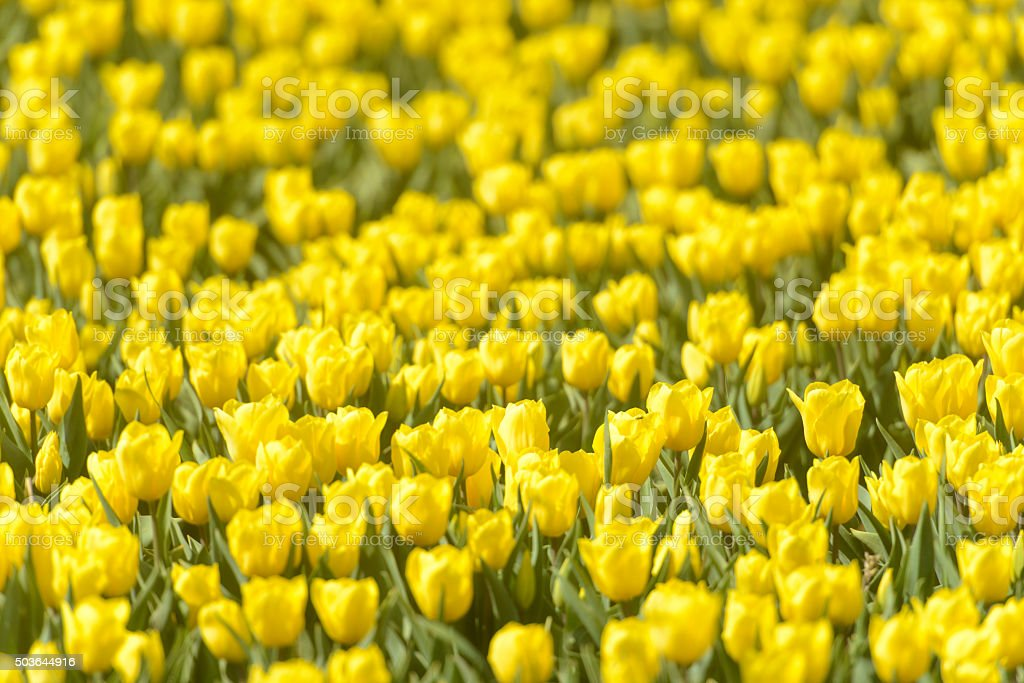 Yellow Tulips in a field in spring stock photo