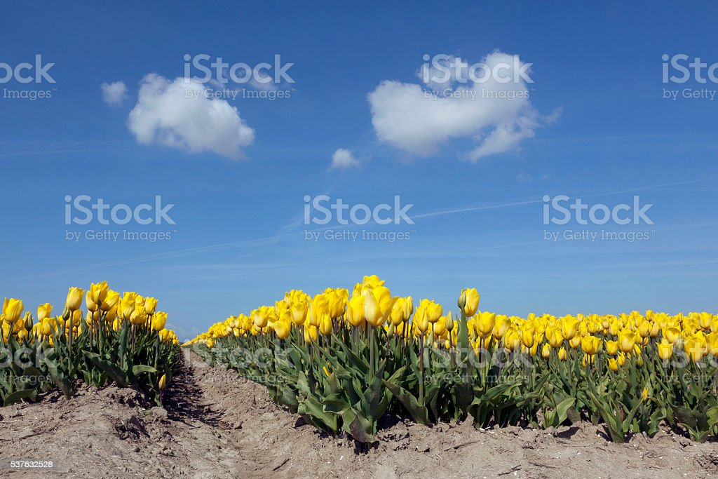 yellow tulips in dutch flower field blue sky low angle stock photo