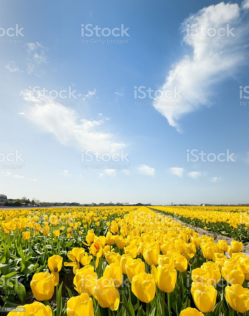 yellow tulips in flower field stock photo