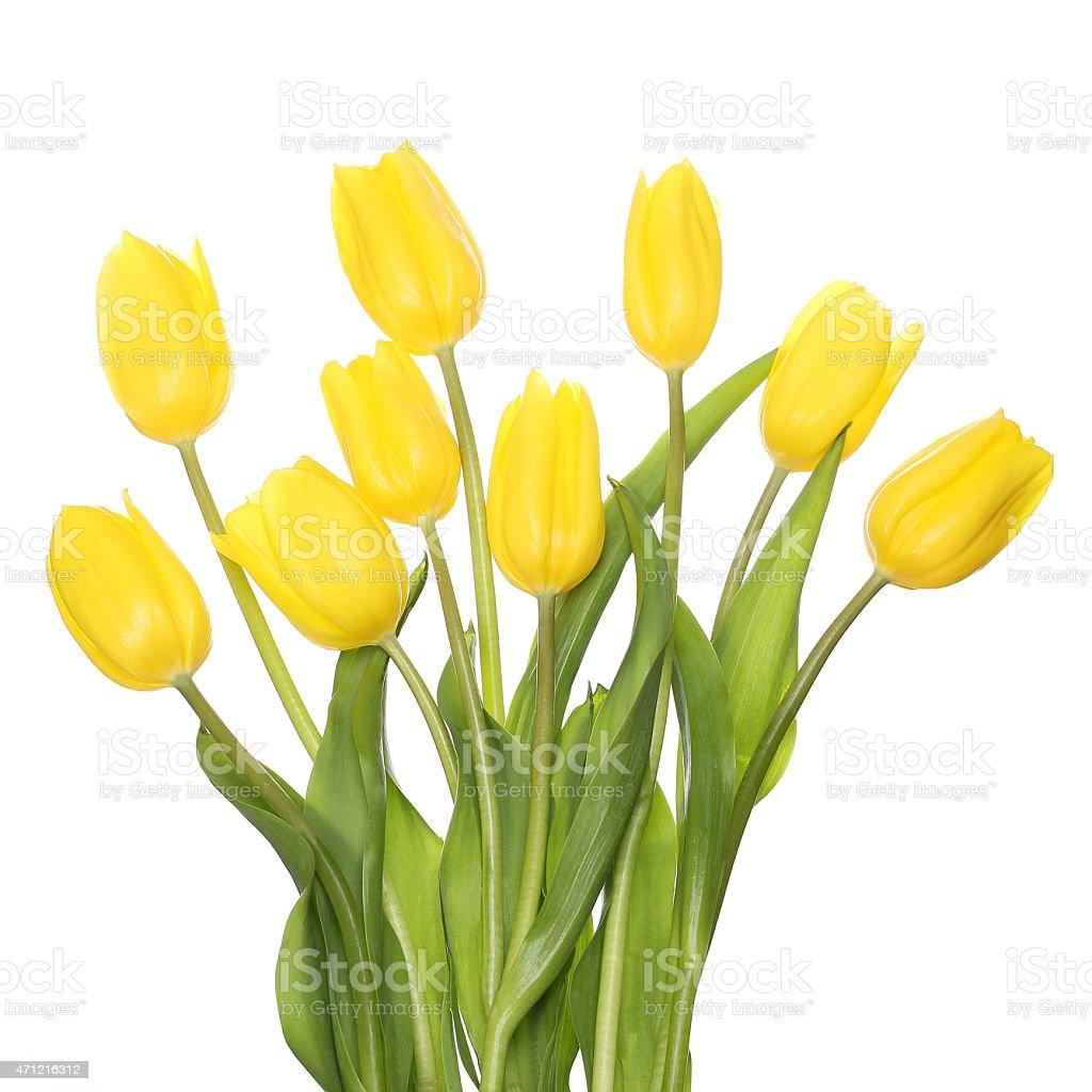 Yellow Tulips isolated stock photo