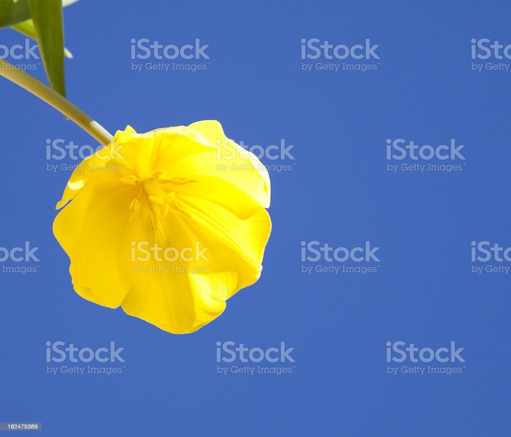 yellow tulips on blue sky stock photo