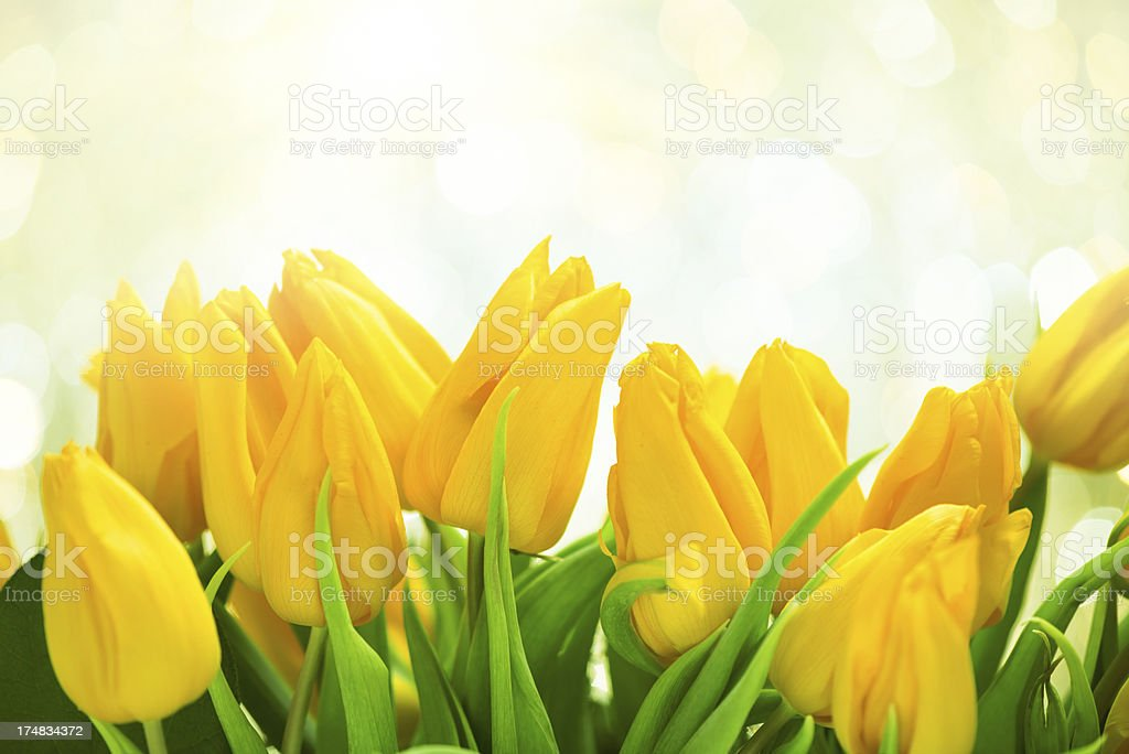 Yellow tulips on twinkled illuminated background royalty-free stock photo