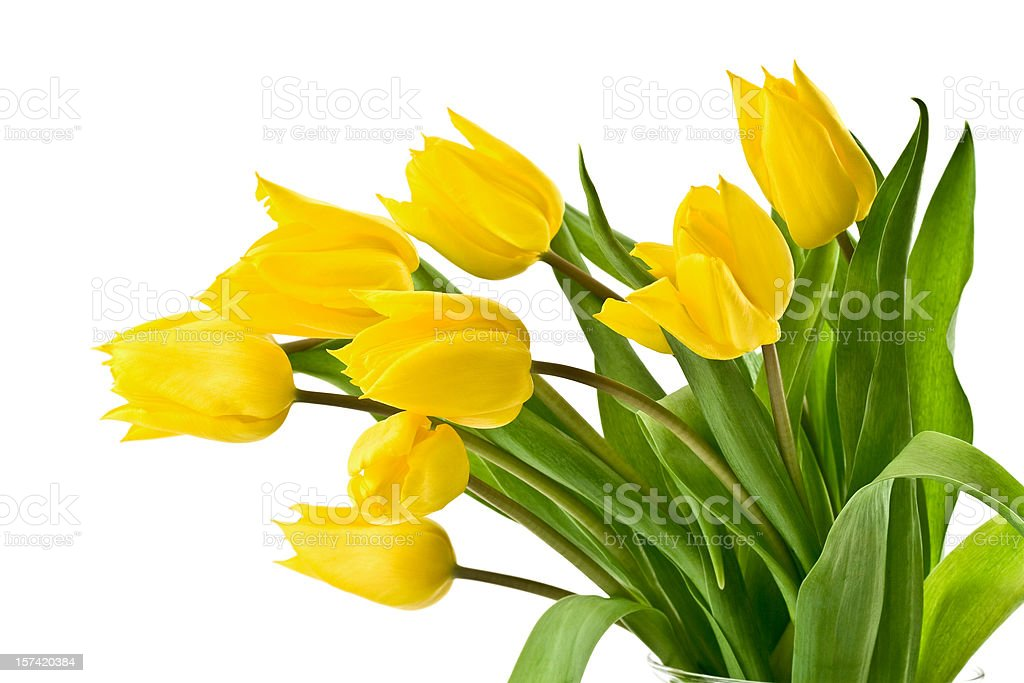 Yellow tulips on white background royalty-free stock photo