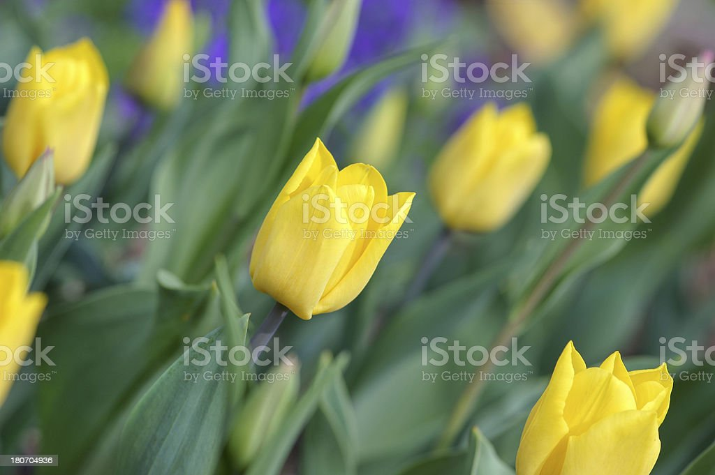 Yellow tulips. royalty-free stock photo