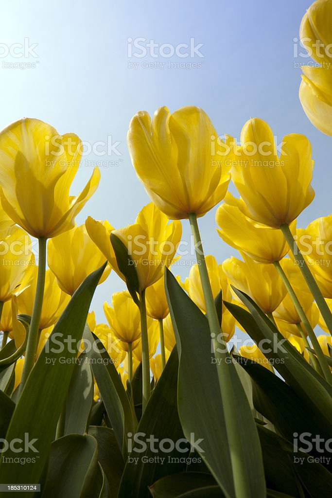 Yellow Tulips seen from below stock photo