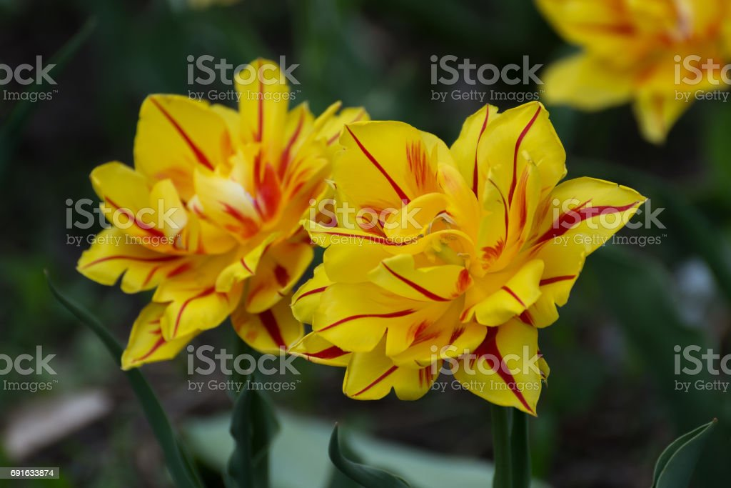 Yellow tulips with red stripes in a spring garden. stock photo