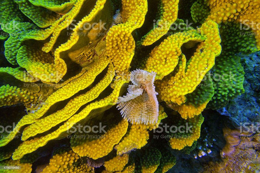 yellow turbinaria mesenterina coral  and fan worm, underwater stock photo