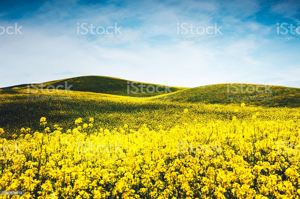 Yellow Tuscany Field stock photo