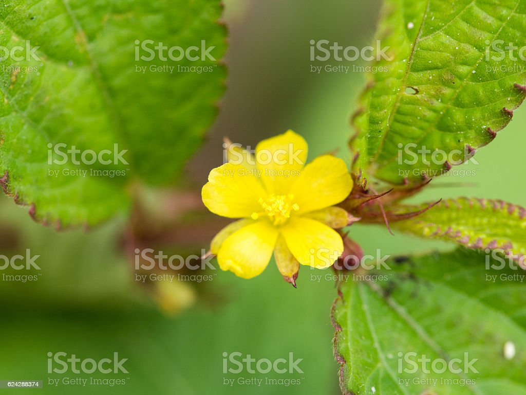 Yellow Unwanted Flora Flower stock photo