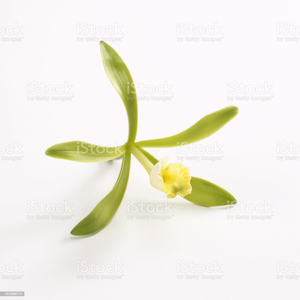 Yellow vanilla flower with green leaves stock photo