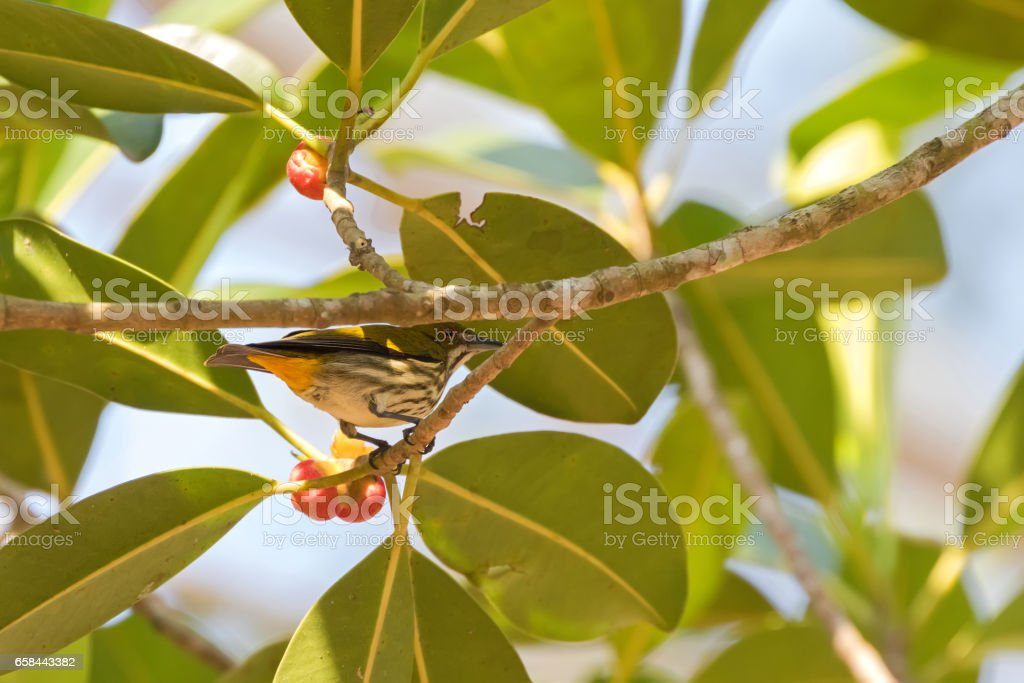 Yellow vented flowerpecker bird on tree branch near ripe red fruit in Thailand, Asia stock photo