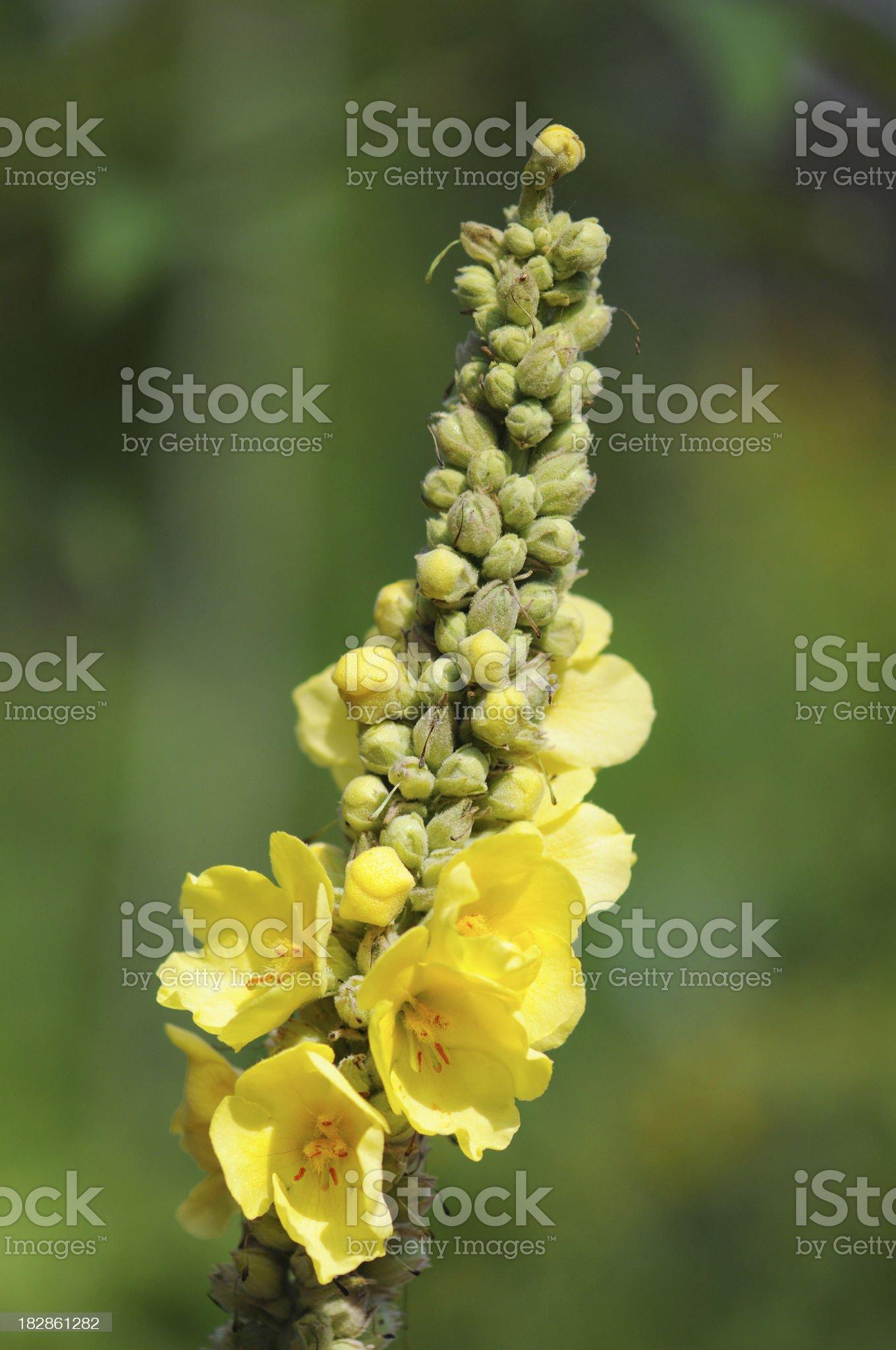 yellow Verbascum royalty-free stock photo