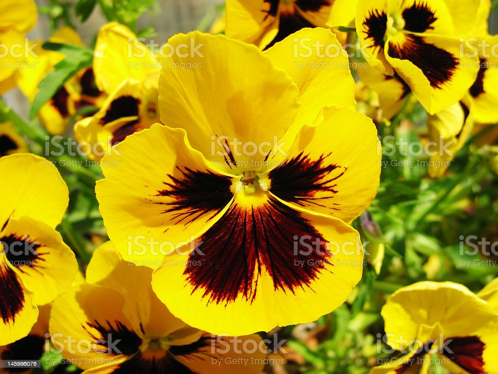 Yellow violet (Viola) stock photo
