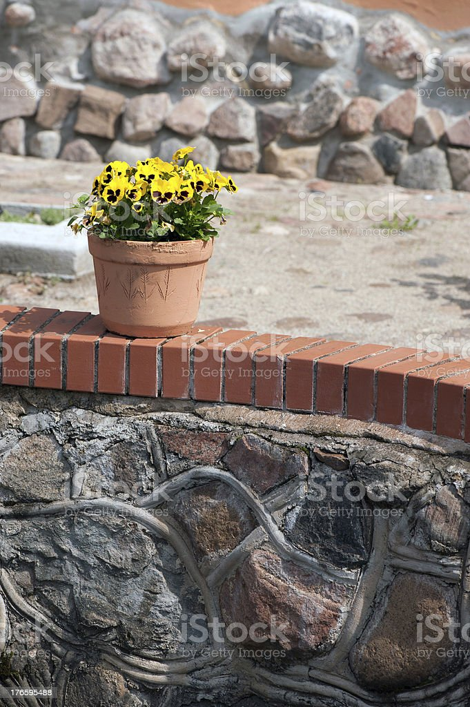 Yellow violets in a pot royalty-free stock photo
