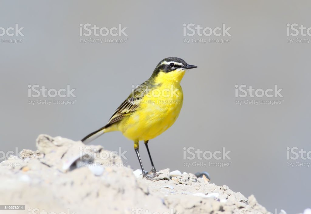 Yellow wagtail in breeding plumage on blurred grey background. stock photo