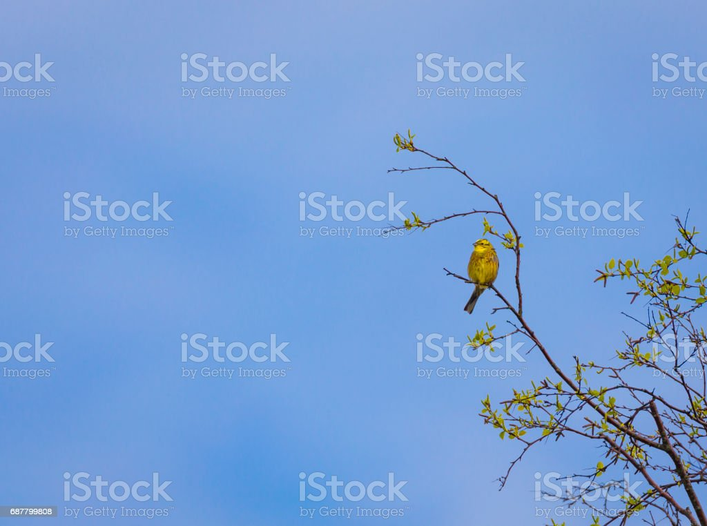 Yellow wagtail in tree stock photo