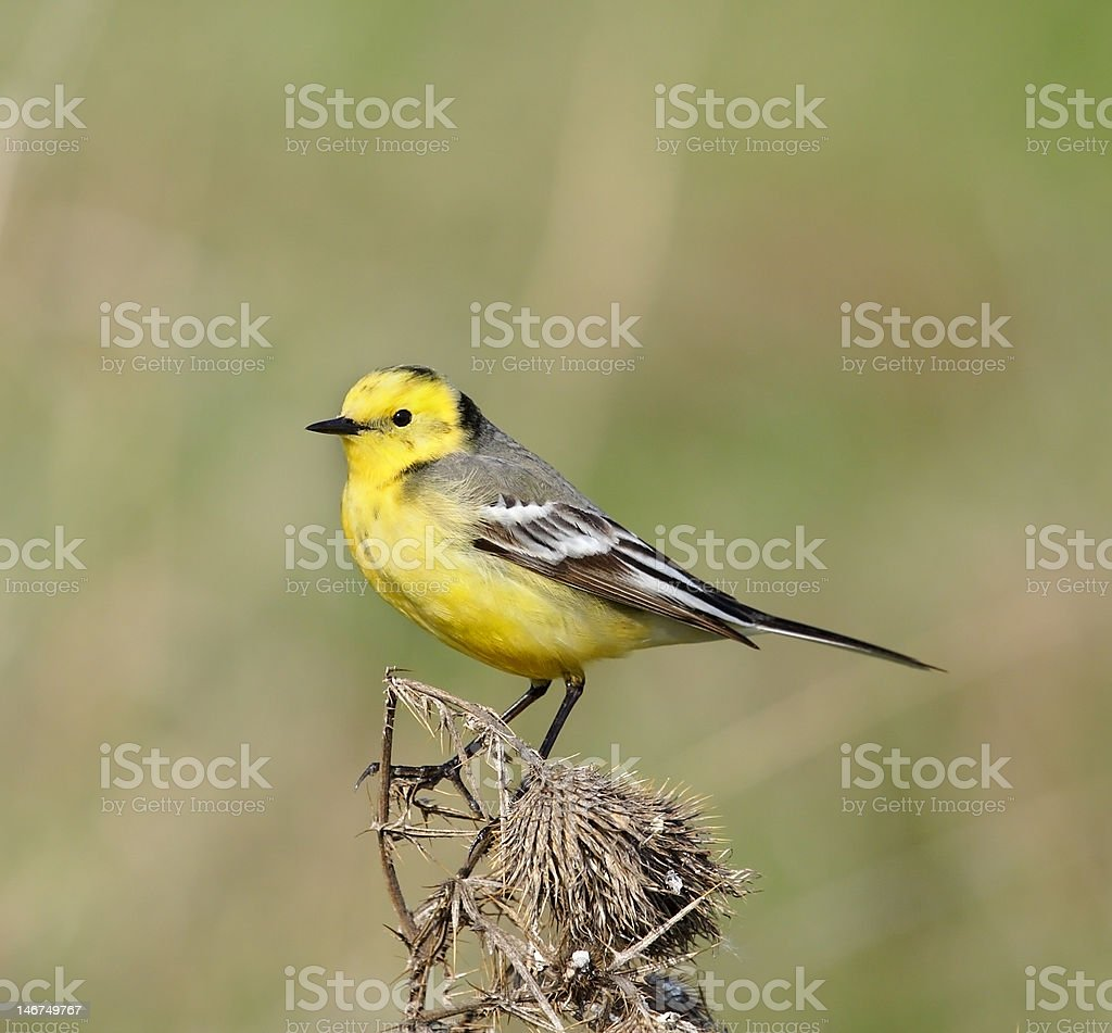 Yellow wagtail. royalty-free stock photo