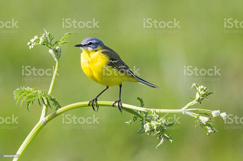 Yellow Wagtail (Motacilla flava) stock photo
