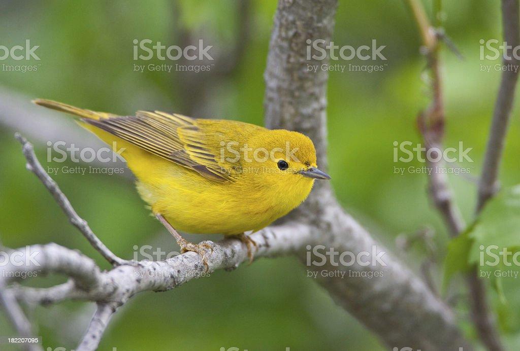 Yellow Warbler Bird stock photo