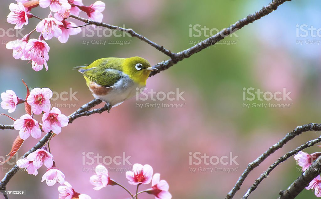Yellow warbler bird sitting on a cherry tree branch royalty-free stock photo