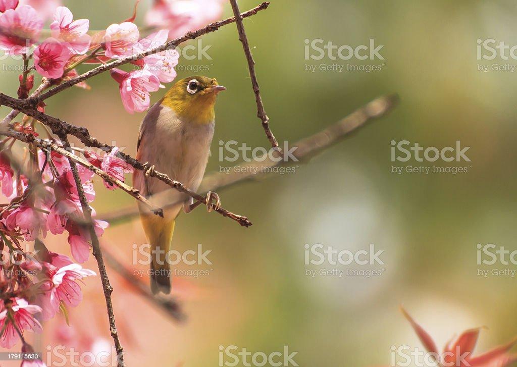 Yellow warbler bird sitting on a cherry tree branch stock photo