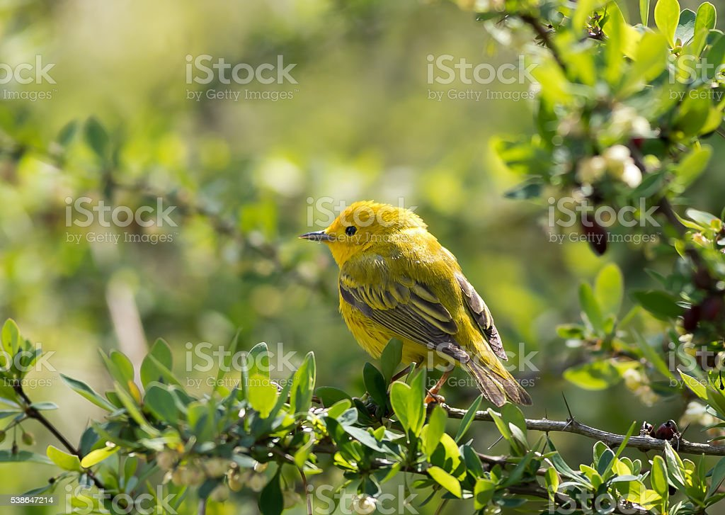 Yellow warbler in barberry bush stock photo