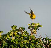 Yellow Warbler in flight