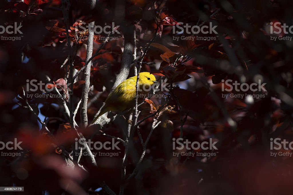 Yellow Warbler in Purple Tree royalty-free stock photo