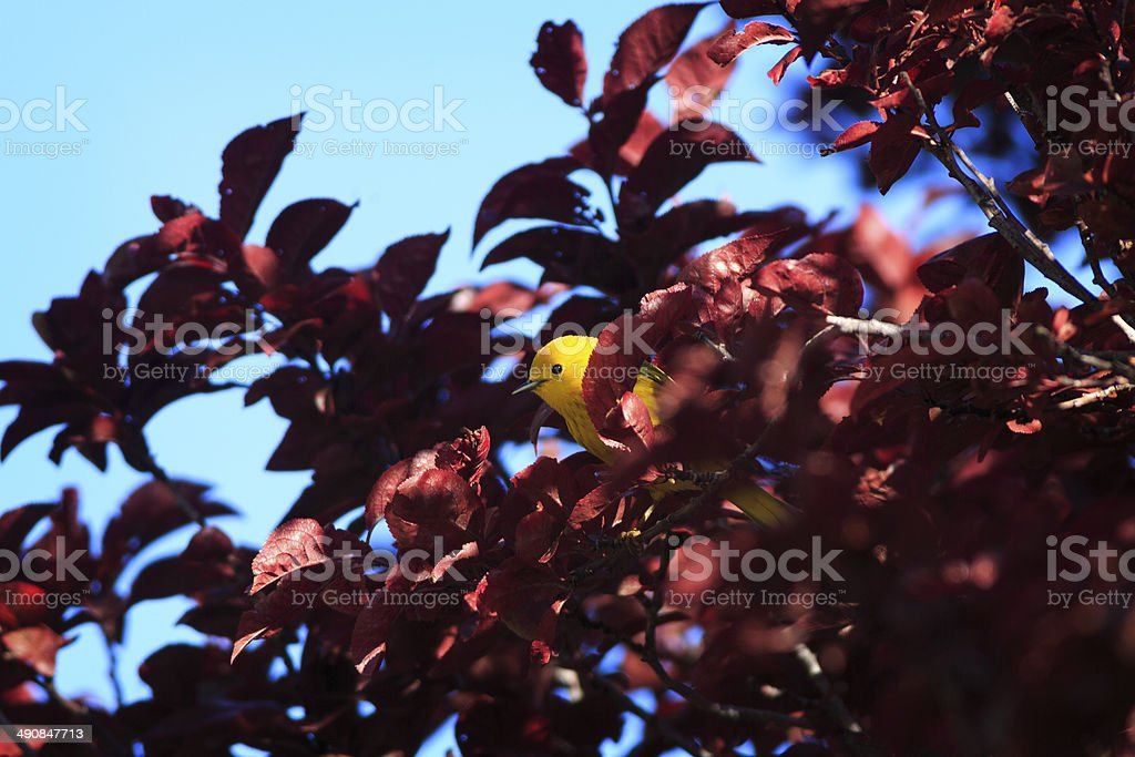 Yellow Warbler in Tree royalty-free stock photo