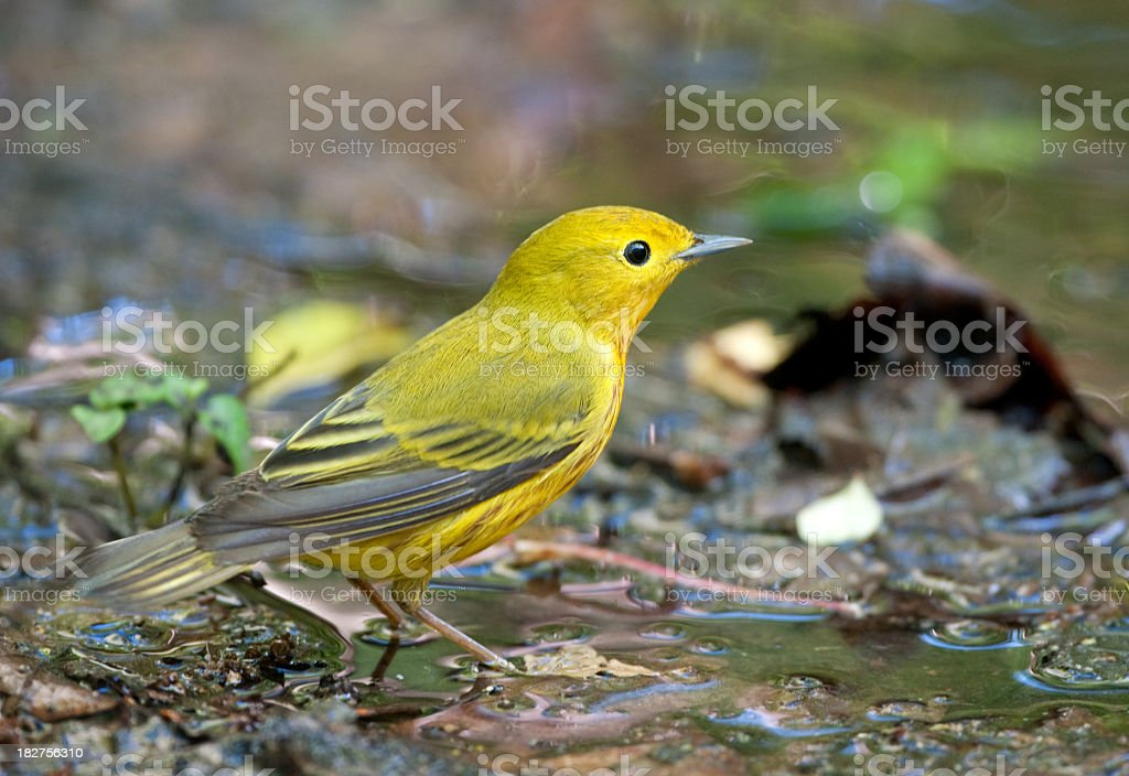 Yellow Warbler - Male stock photo