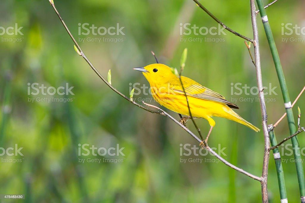 Yellow Warbler perching in springtime, male bird stock photo