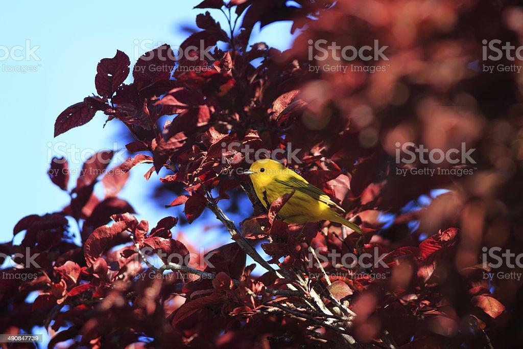 Yellow Warbler royalty-free stock photo