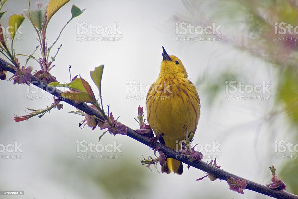 Yellow Warbler Singing stock photo