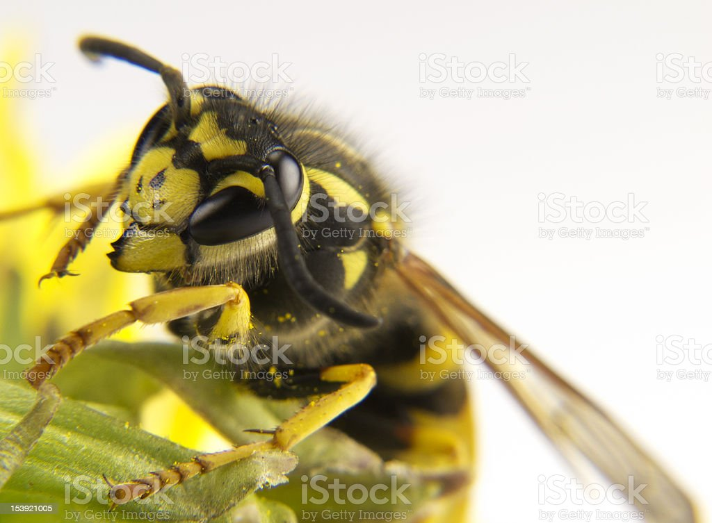 Yellow wasp on a few flowers of colors stock photo