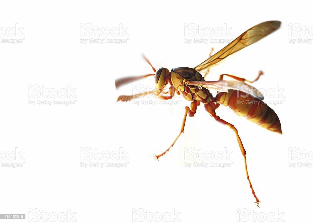 Yellow Wasp royalty-free stock photo
