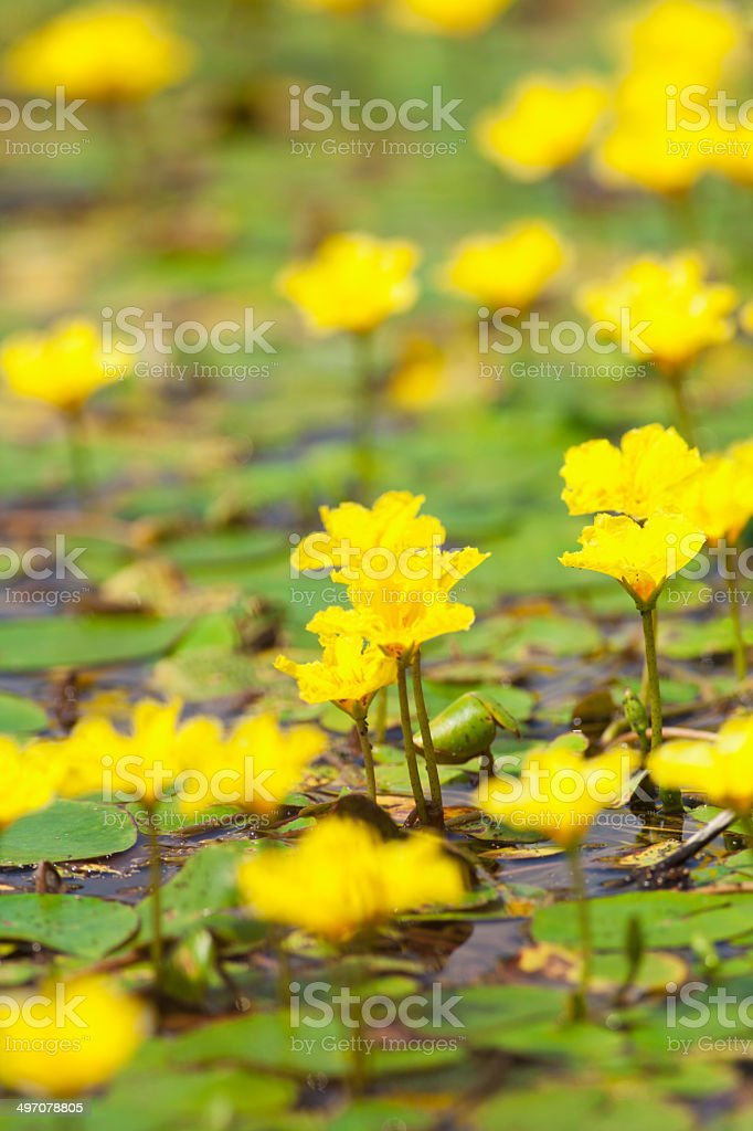Yellow water flowers royalty-free stock photo